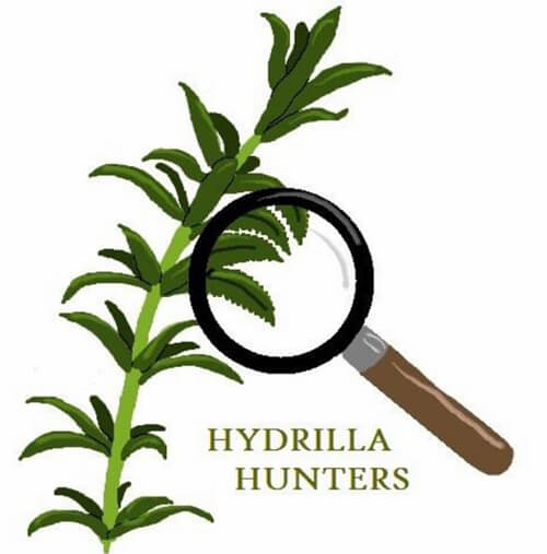 Sketch of invasive plant Hydrilla