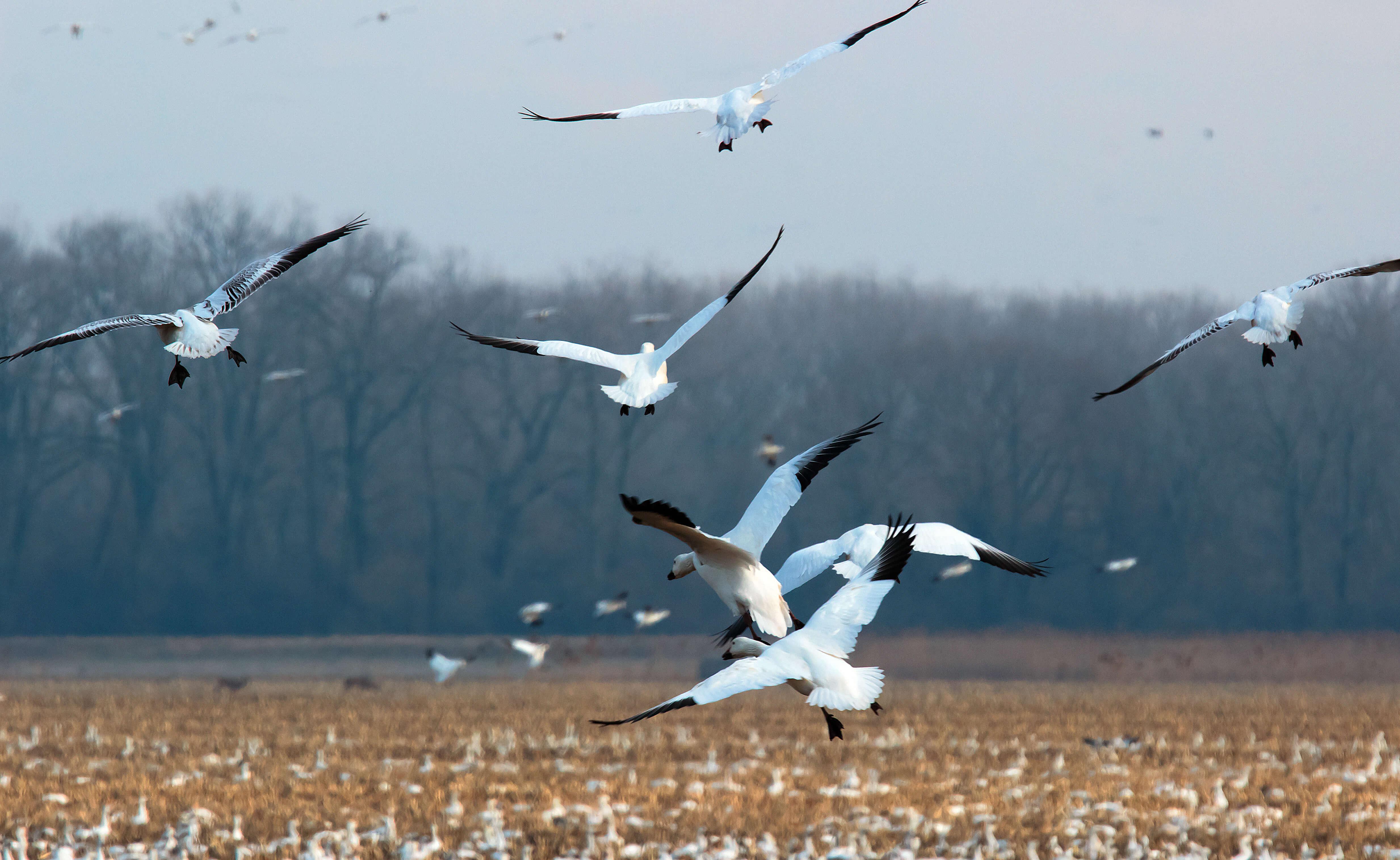 Snow Geese near Cayuga Lake