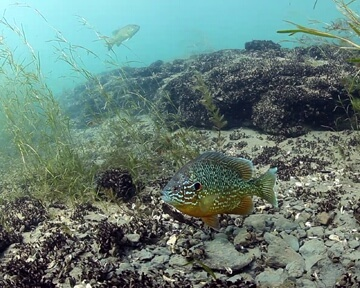 Pumpkinseed Sunfish-David Brown